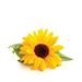 suncokret.jpg
